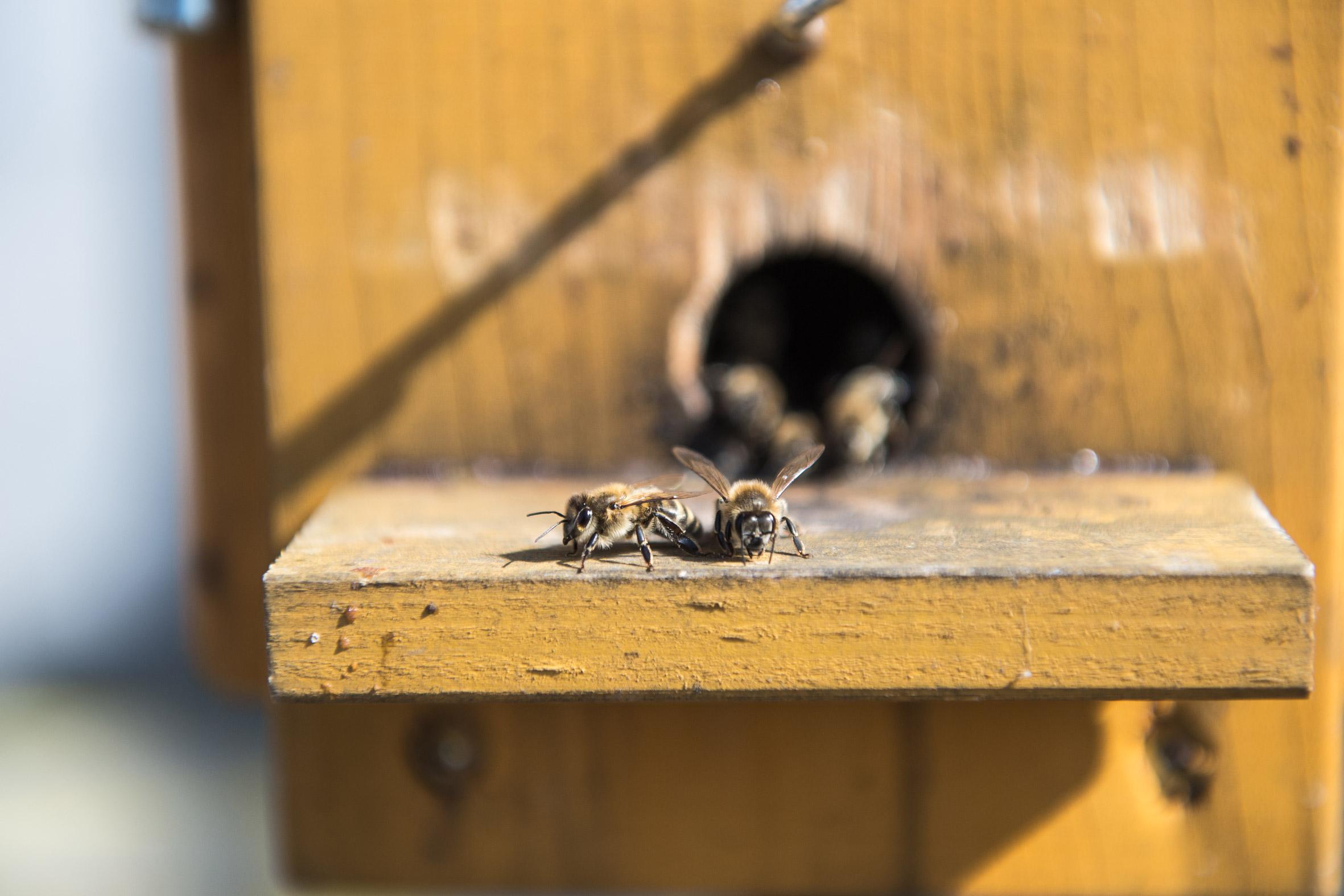 Imker Bienen regional leben